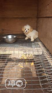 Baby Male Purebred Lhasa Apso | Dogs & Puppies for sale in Edo State, Benin City