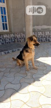 Adult Female Purebred German Shepherd Dog   Dogs & Puppies for sale in Abuja (FCT) State, Central Business District