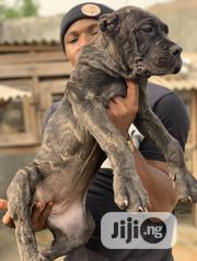 Young Female Purebred Cane Corso | Dogs & Puppies for sale in Lagos State, Lagos Mainland