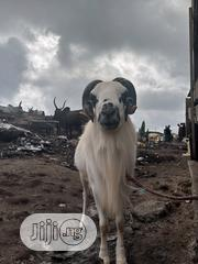 Local Kuru Ram 36kg Fighting Ram Available For Sale | Livestock & Poultry for sale in Lagos State, Lagos Island