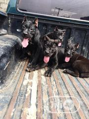 Young Female Purebred Cane Corso | Dogs & Puppies for sale in Lagos State, Alimosho