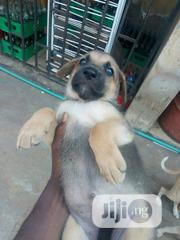 Young Female Purebred German Shepherd Dog | Dogs & Puppies for sale in Oyo State, Egbeda