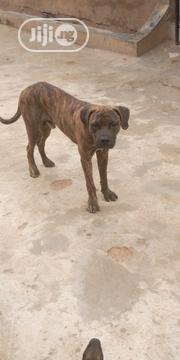Adult Male Purebred Boerboel | Dogs & Puppies for sale in Oyo State, Ibadan South East