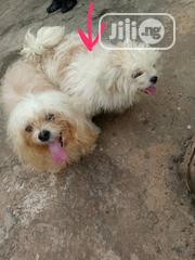 Adult Female Purebred Lhasa Apso | Dogs & Puppies for sale in Ogun State, Ado-Odo/Ota