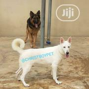 Adult Male Purebred German Shepherd Dog   Dogs & Puppies for sale in Oyo State, Ibadan South East