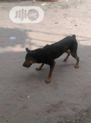Adult Male Purebred Rottweiler | Dogs & Puppies for sale in Lagos State, Ojo