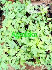Hybrid Pawpaw Seedlings | Feeds, Supplements & Seeds for sale in Ogun State, Odeda