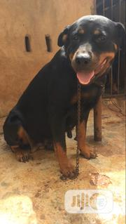 Adult Female Purebred Rottweiler | Dogs & Puppies for sale in Oyo State, Ido