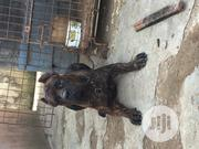 Adult Male Purebred Cane Corso | Dogs & Puppies for sale in Lagos State, Lagos Mainland