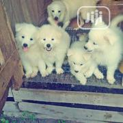Young Male Purebred American Eskimo Dog | Dogs & Puppies for sale in Bayelsa State, Yenagoa