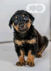 Young Female Purebred Rottweiler | Dogs & Puppies for sale in Bayelsa State, Yenagoa