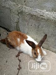 Rabbit For Sale | Livestock & Poultry for sale in Lagos State, Ajah
