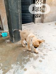 Baby Male Purebred German Shepherd Dog | Dogs & Puppies for sale in Oyo State, Oluyole
