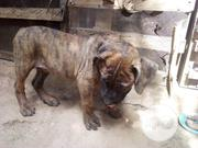 Baby Male Purebred Boerboel | Dogs & Puppies for sale in Abuja (FCT) State, Kubwa