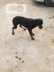 Young Female Purebred Rottweiler | Dogs & Puppies for sale in Ogun State, Sagamu