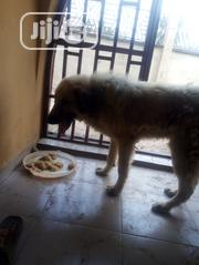 Adult Male Purebred Caucasian Shepherd Dog | Dogs & Puppies for sale in Oyo State, Ibadan