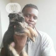 Young Male Purebred German Shepherd Dog | Dogs & Puppies for sale in Oyo State, Ibadan