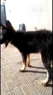 Young Female Purebred German Shepherd Dog | Dogs & Puppies for sale in Lagos State, Ikorodu