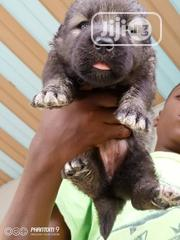 Baby Male Mixed Breed Caucasian Shepherd Dog | Dogs & Puppies for sale in Rivers State, Port-Harcourt