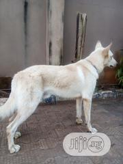 Senior Male Purebred German Shepherd Dog | Dogs & Puppies for sale in Lagos State, Ikorodu
