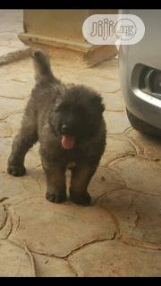 Young Male Purebred Caucasian Shepherd Dog | Dogs & Puppies for sale in Oyo State, Ibadan