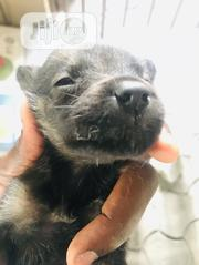 Baby Male Purebred Boerboel | Dogs & Puppies for sale in Rivers State, Obio-Akpor