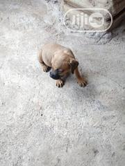 Baby Male Purebred Bullmastiff   Dogs & Puppies for sale in Edo State, Egor