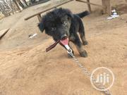 Baby Male Purebred German Shepherd Dog | Dogs & Puppies for sale in Oyo State, Ibadan North