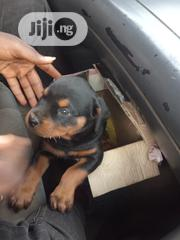 Baby Male Purebred Rottweiler | Dogs & Puppies for sale in Ondo State, Akure