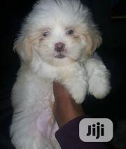 Young Female Purebred Lhasa Apso | Dogs & Puppies for sale in Abuja (FCT) State, Maitama