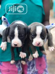 Baby Male Purebred American Pit Bull Terrier | Dogs & Puppies for sale in Oyo State, Olorunsogo