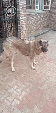 Adult Female Purebred Caucasian Shepherd Dog | Dogs & Puppies for sale in Abuja (FCT) State, Gwarinpa