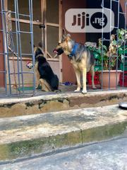 Baby Male Purebred German Shepherd Dog | Dogs & Puppies for sale in Lagos State, Lekki Phase 2