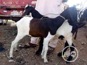 Buy Your Goats From Us | Livestock & Poultry for sale in Benue State, Logo
