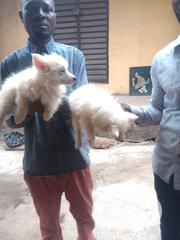 Baby Female Purebred American Eskimo Dog | Dogs & Puppies for sale in Lagos State, Magodo
