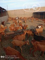 Brown Goats | Livestock & Poultry for sale in Benue State, Logo