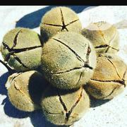 Gorontula Fruit   Sexual Wellness for sale in Lagos State, Isolo