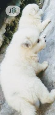 Baby Female Purebred American Eskimo Dog | Dogs & Puppies for sale in Lagos State, Ilupeju