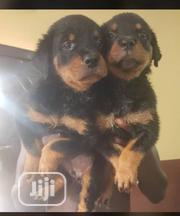 Baby Female Purebred Rottweiler | Dogs & Puppies for sale in Ogun State, Ifo