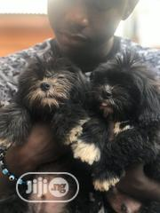 Young Male Purebred Lhasa Apso | Dogs & Puppies for sale in Lagos State, Ikeja