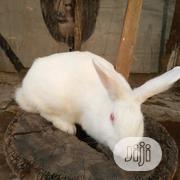 Matured New Zealand White Buck For Sale   Other Animals for sale in Oyo State, Ibadan