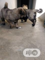 Baby Female Purebred Caucasian Shepherd Dog   Dogs & Puppies for sale in Plateau State, Jos North
