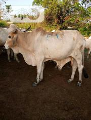 Matured Male Cows | Livestock & Poultry for sale in Benue State, Logo