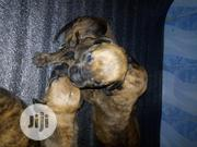 Baby Male Purebred Boerboel | Dogs & Puppies for sale in Lagos State, Magodo