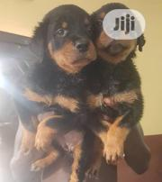 Young Male Purebred Rottweiler   Dogs & Puppies for sale in Oyo State, Akinyele