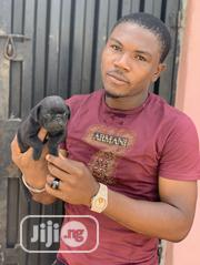 Young Male Purebred Pug | Dogs & Puppies for sale in Lagos State, Lagos Mainland