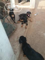 Baby Male Purebred Rottweiler | Dogs & Puppies for sale in Anambra State, Awka