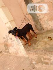 Adult Male Purebred Rottweiler | Dogs & Puppies for sale in Oyo State, Egbeda