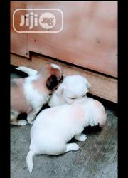 Baby Male Purebred Lhasa Apso | Dogs & Puppies for sale in Lagos State, Surulere