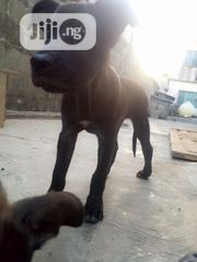 Baby Male Purebred Cane Corso | Dogs & Puppies for sale in Lagos State, Ojo